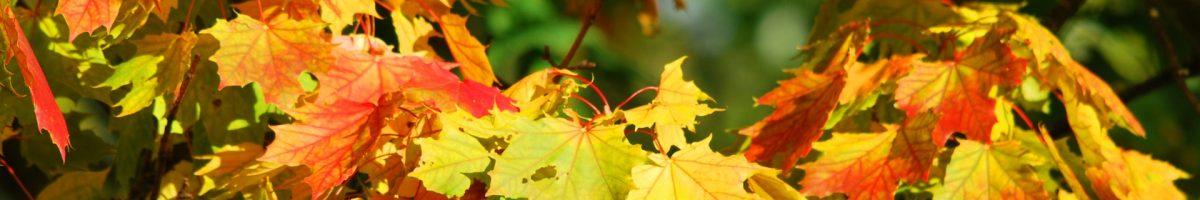fall-foliage-maple-tree-63614
